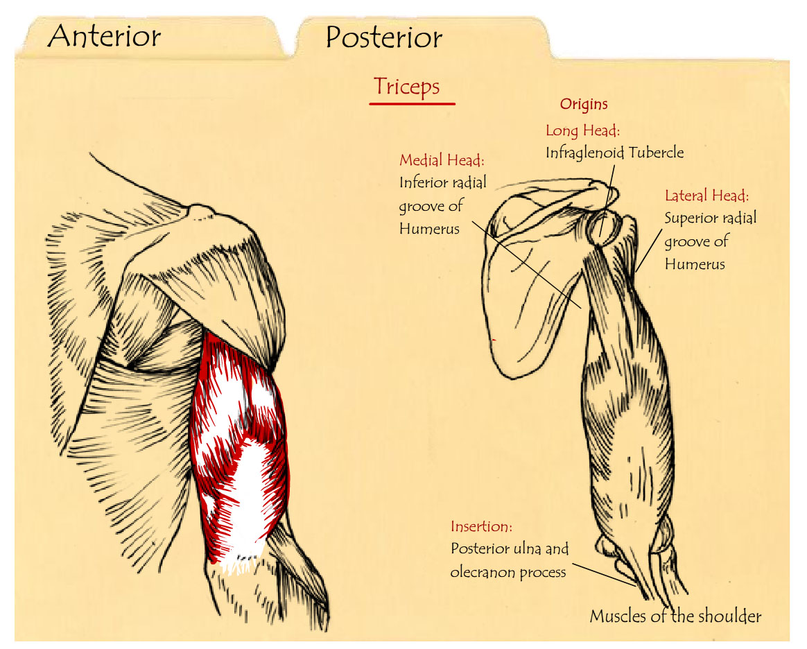 Interactive Educational Module Muscles Of The Shoulder Amber Luning