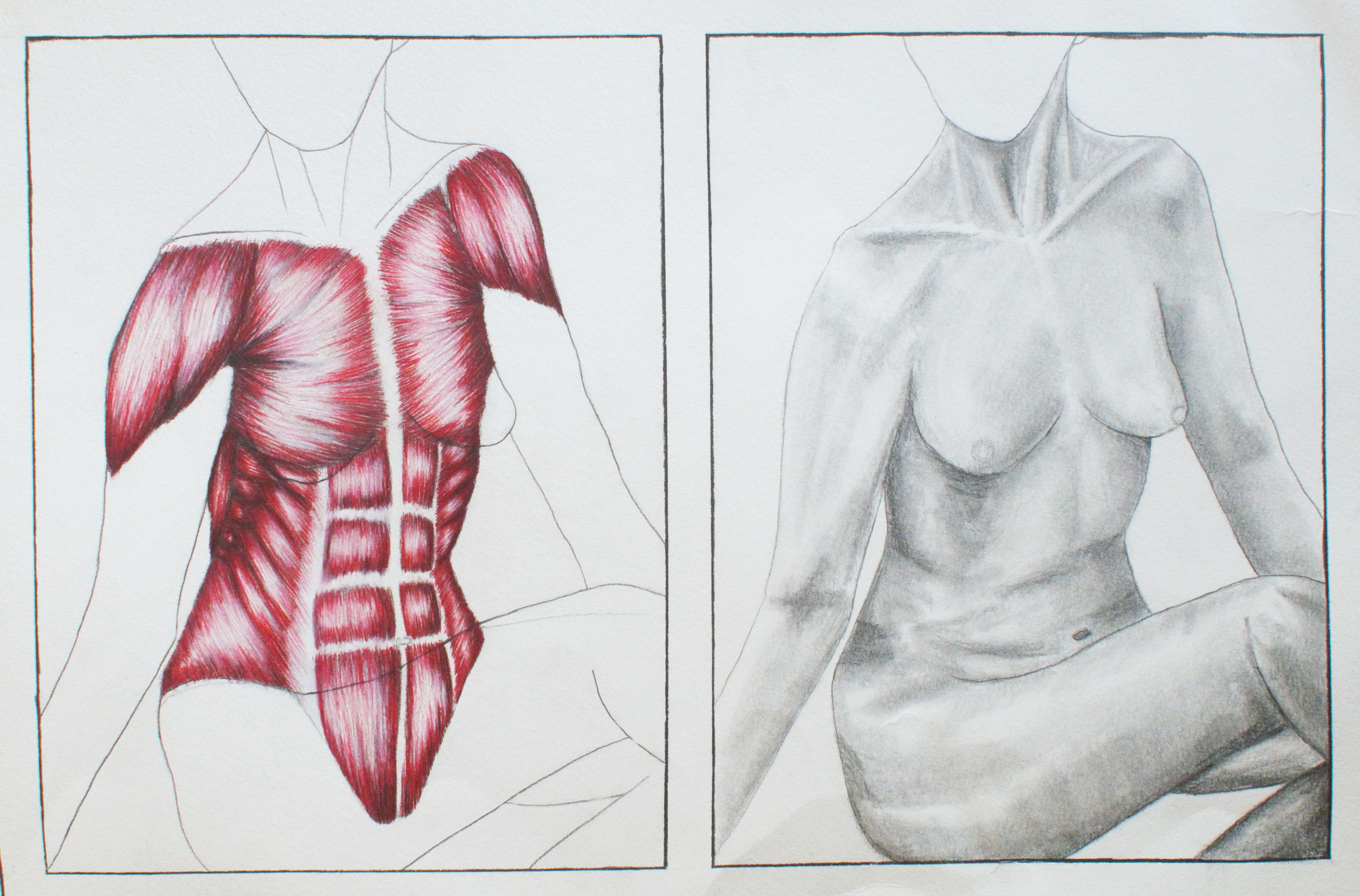 Surface Muscle Anatomy Illustrations Amber Luning